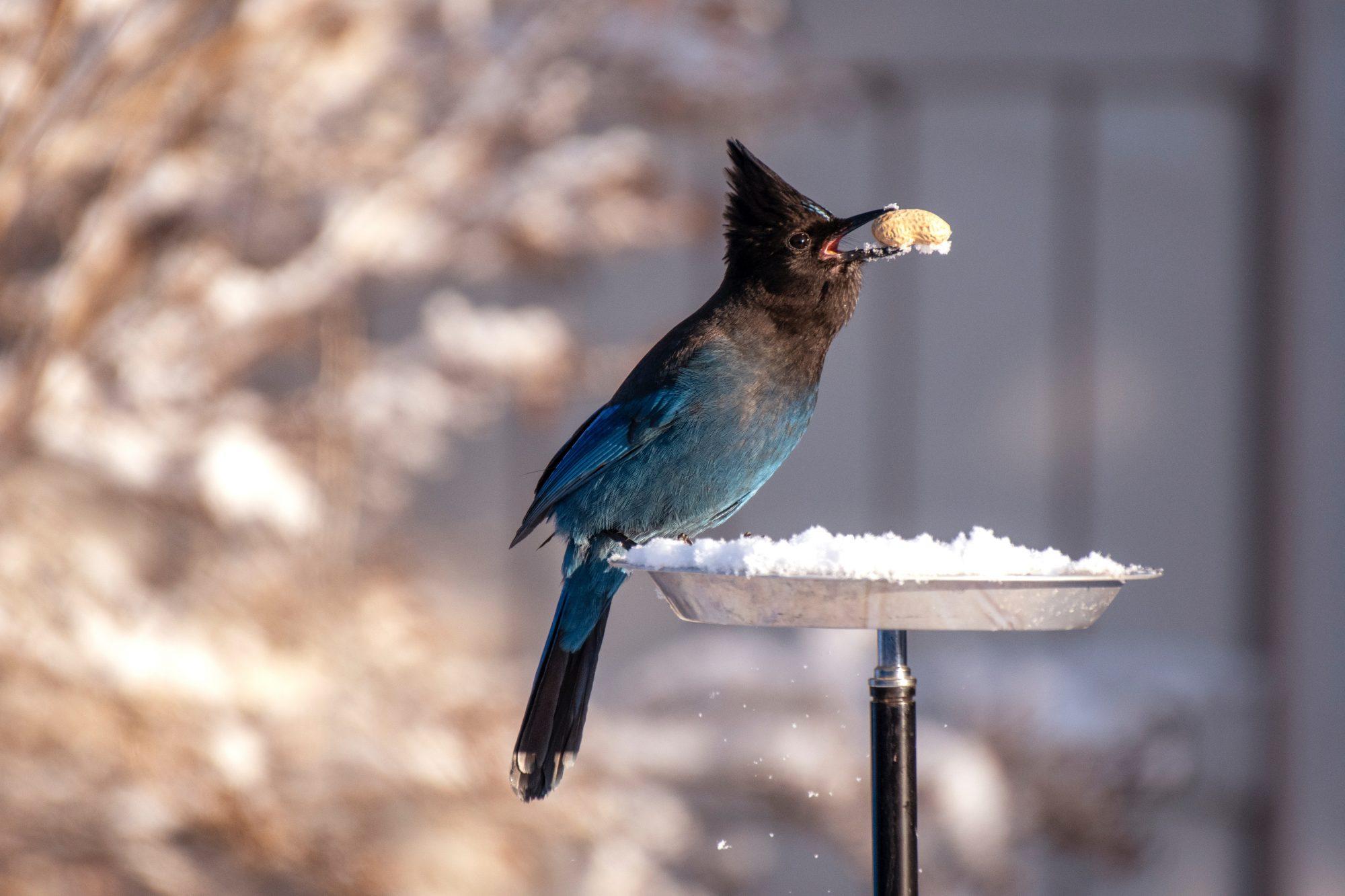 steller-s-jay-found-a-peanut-on-a-snow-3379017