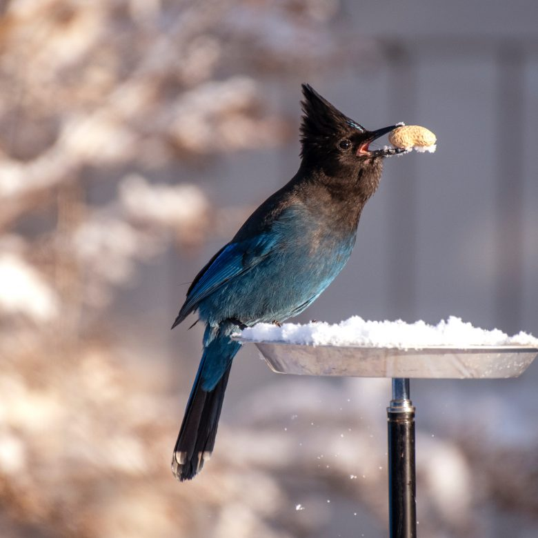 steller-s-jay-found-a-peanut-on-a-snow-3379017